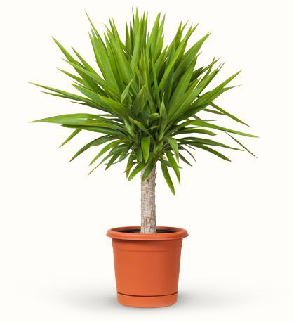 avasflowers-yucca-potted-plant_max